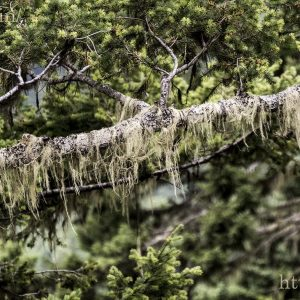 Lichens growing on the trees in the Olympic National Park