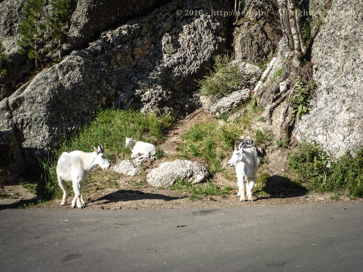 Mountain Goats are cute