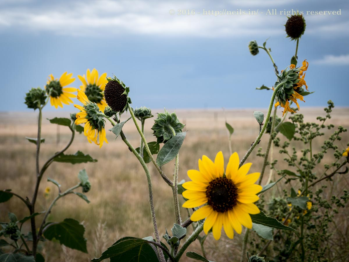 Sunflowers smiled at us